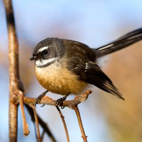 New Zealand Fantail perched on a branch.