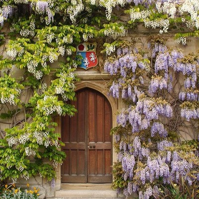 The hysteria that is wisteria