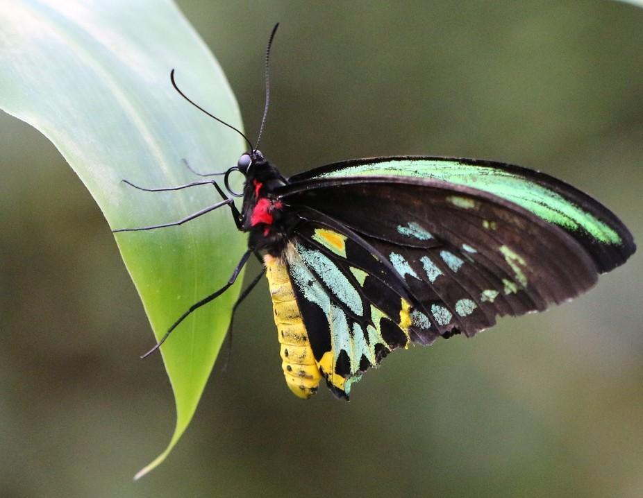 Birdwing