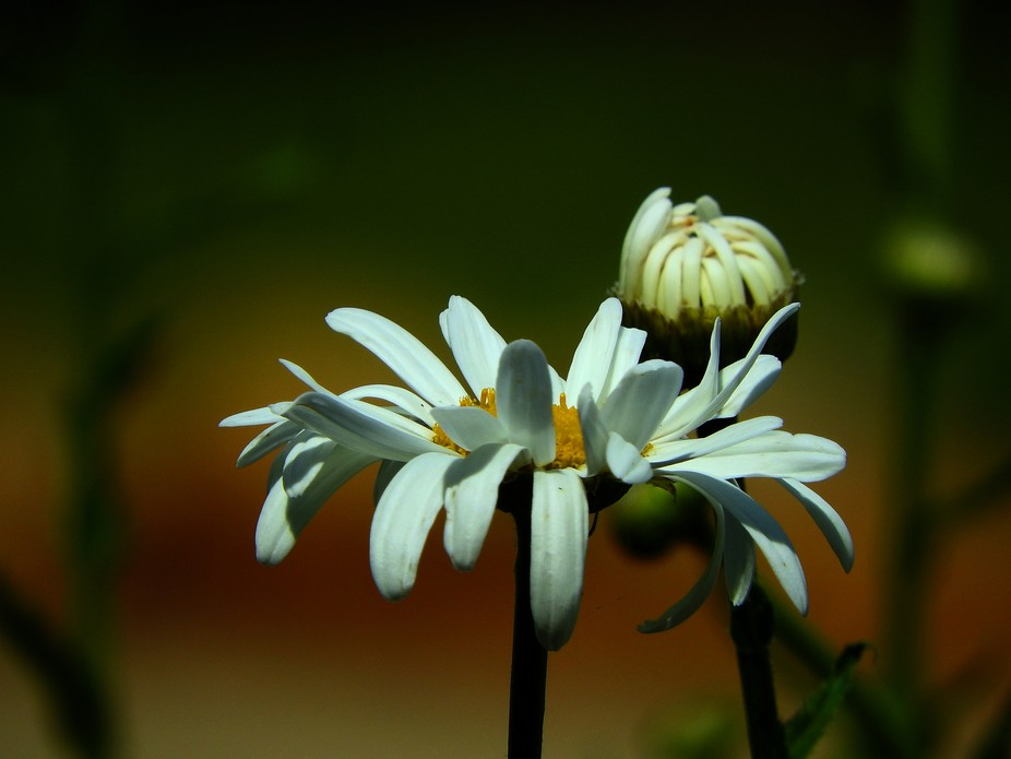 Daisy bud and open flower. Practicing with flowers as subjects