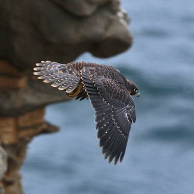 Juvenile Peregrine Falcon IMG_6977