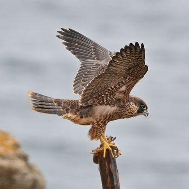 Juvenile Peregrine Falcon IMG_7083