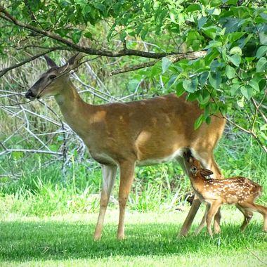 Mama Deer & Baby #1