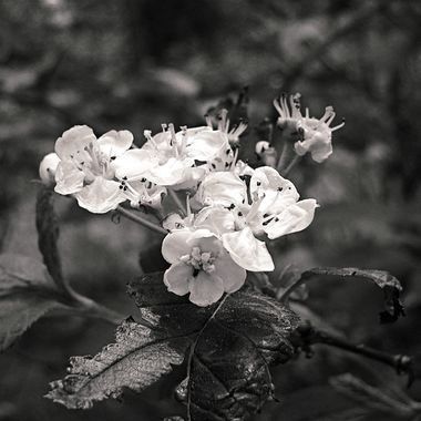 Hawthorn Blossoms in Black and White