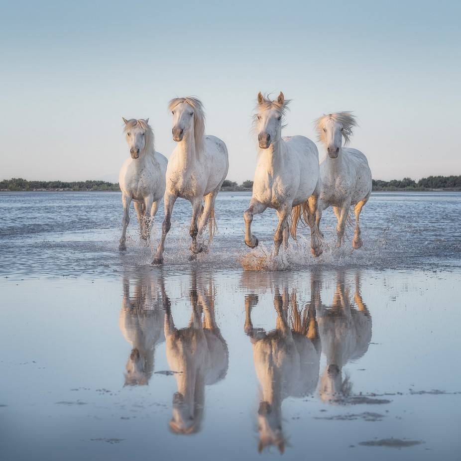 White horses of Camargue by tiger_in_teapot - Lakes And Reflections Photo Contest