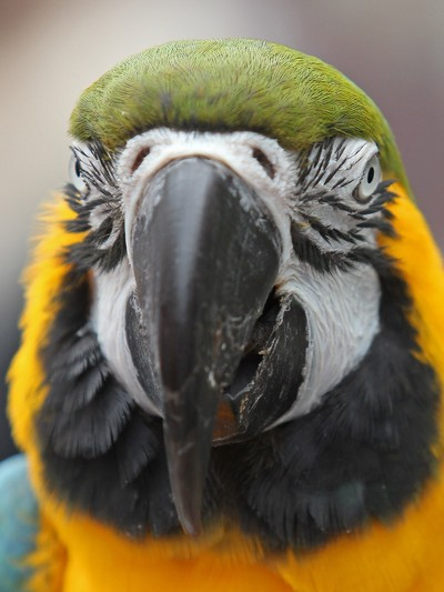 Face of a Macaw..