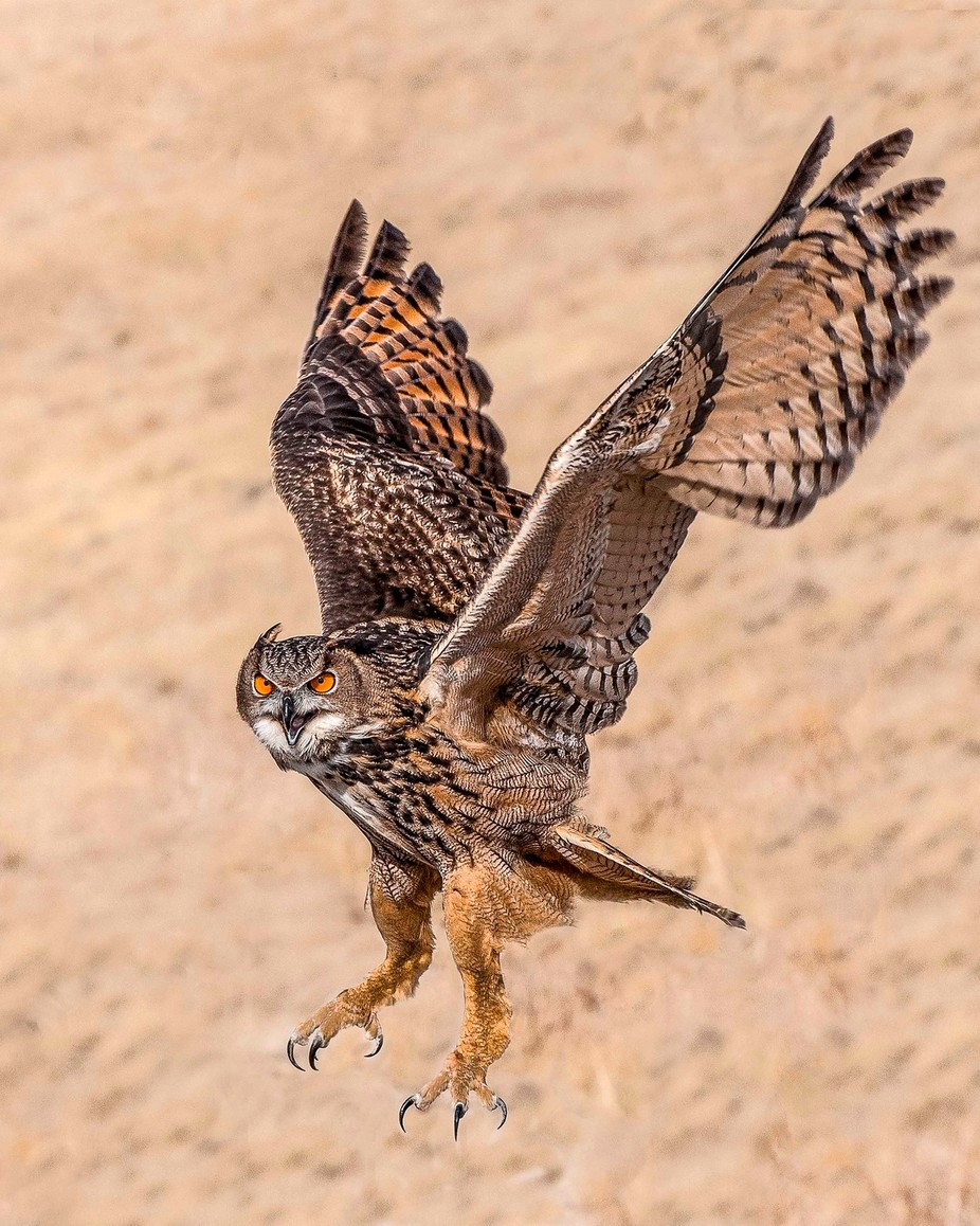 Eurasian Eagle Owl In Flight by beepersbud - My Best Shot Photo Contest Vol 3
