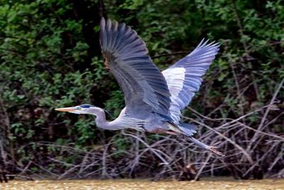 Great Blue Heron Flying-119