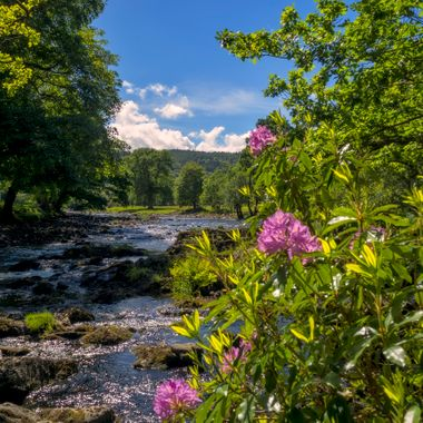 The Afon Llugwy at Betws y Coed. The flowers are Rhododendrons.