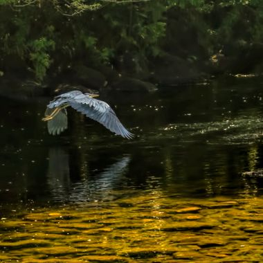 Amazing plumage on the Grey Heron as it flies over the Afon Llugwy at Betws y Coed