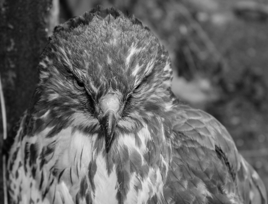 hawk black&white