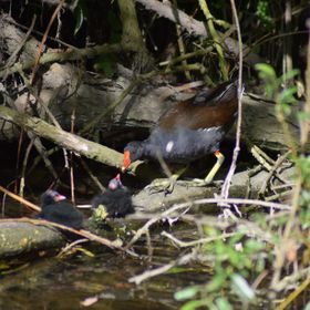 A mother moorhen feeding her babies on a collapsed tree in the river.