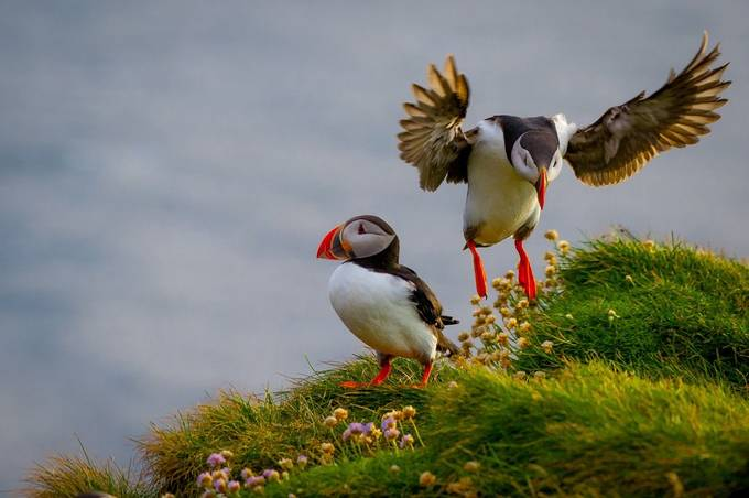 Two Puffins by Devid - Iceland The Beautiful Photo Contest