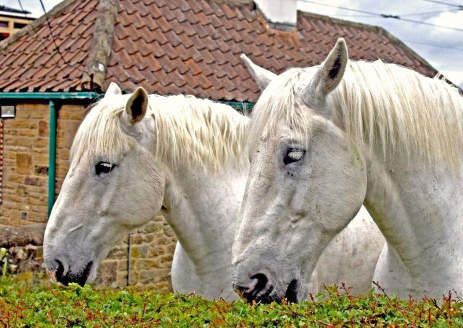 Beamish Horses DSC_0377