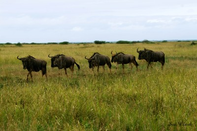 A group of wildebeest walks across the grassland. South Africa