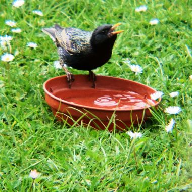 Starling on water bowl