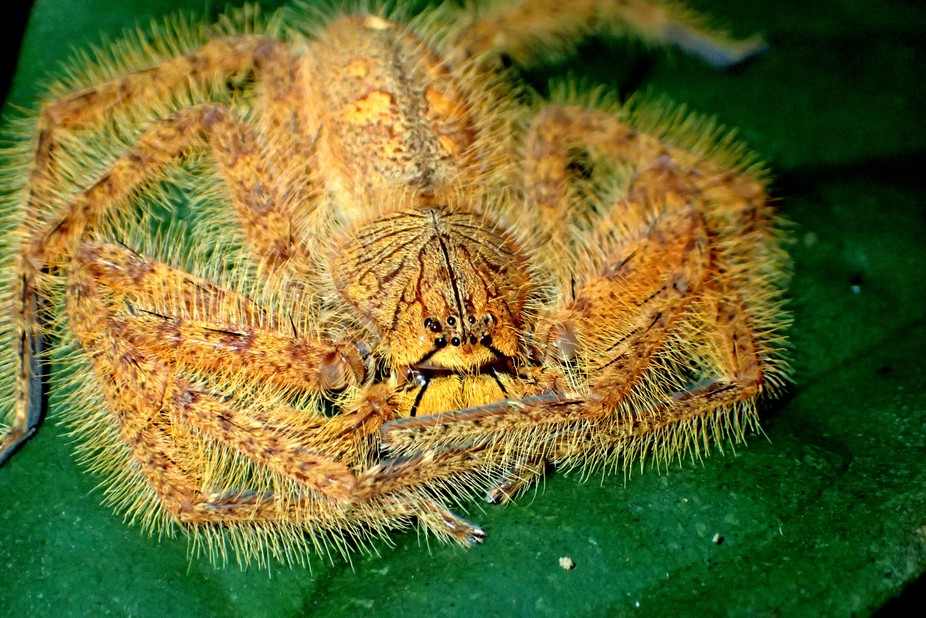 A hairy orange colored david bowie huntsman spider just chilling on a leaf