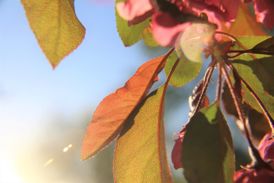 The leaves on the crab apple tree with the setting sun behind them.  You can see the detail in th...