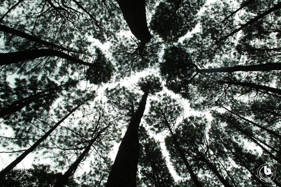Pinus Penangkal Panas