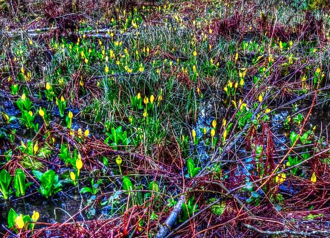 Skunk cabbage ~ the first flowers of spring!  Where there's one there are soon to be a hundred!
