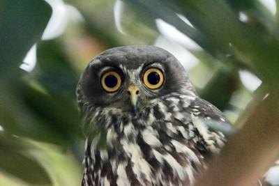 """Owl """"Above my Van"""""""