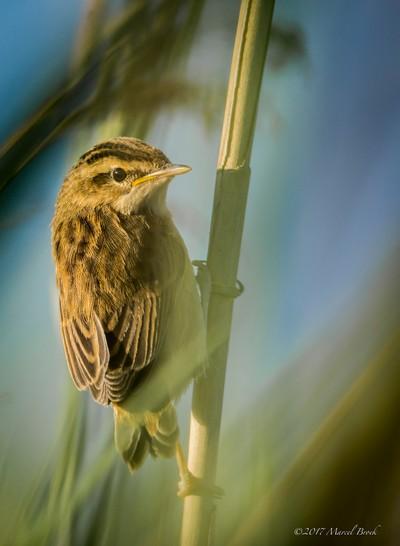 Juvenile Reed warbler