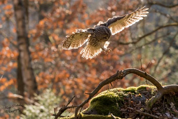 Landing by matej007 - Beautiful Owls Photo Contest