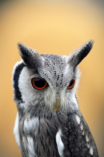 portrait of a scops owl