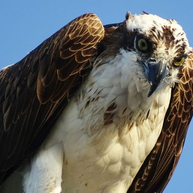 Osprey gaze