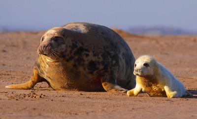 Grey seal pup with Mum