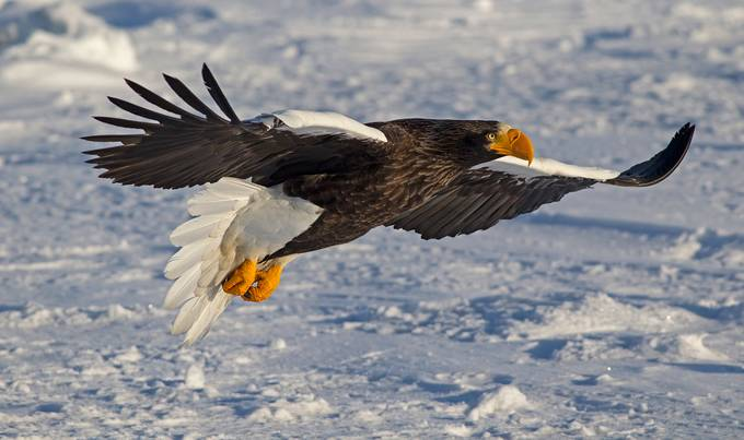 Steller sea eagle in flight by hibbz - Just Eagles Photo Contest