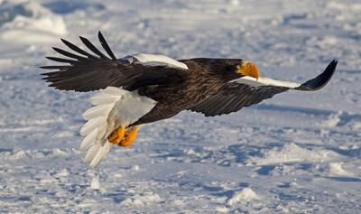 Steller sea eagle in flight