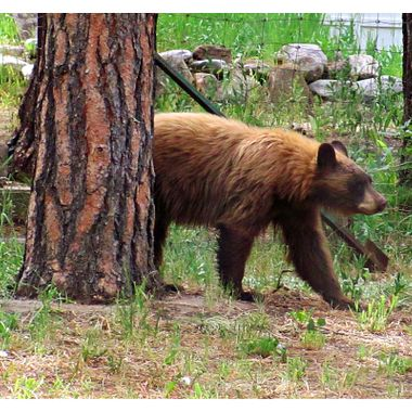 Bear in the Front Yard