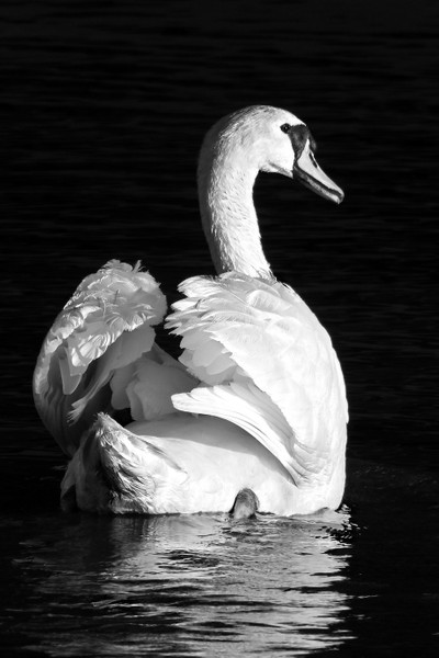 Swan In Black & White