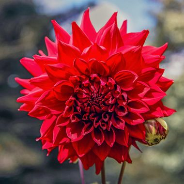 Colours of Mount Wilson (13) - Red Dahlia