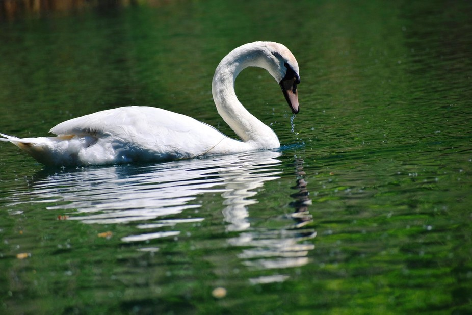Wild White Swan in the water