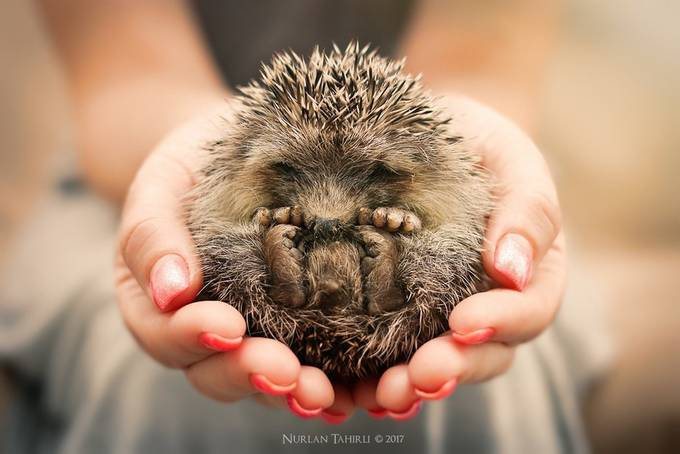 Baby hedgehog sleeping in my hands by Nurlan_Tahirli - Shooting Hands Photo Contest
