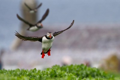 Puffins coming into land