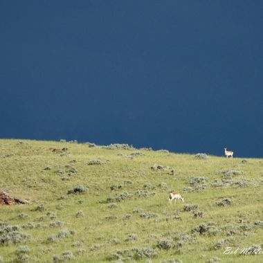 Antelope on Hill