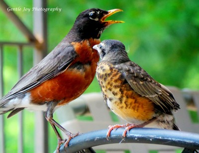 Taking Care of Baby Robin