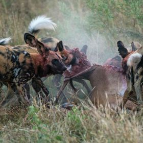 early morning and the wild dogs were up and about. they singled out an impala, chased it for not even 5 minutes and as one devoured the fresh kil...