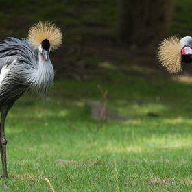2 Grey Crowned Cranes at Bronx Zoo, Bronx, New York, July 13,2016
