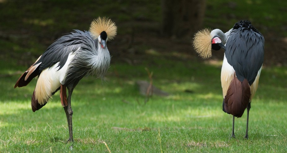 2 Grey Crowned Cranes at Bronx Zoo, Bronx, New York, July 13,2016