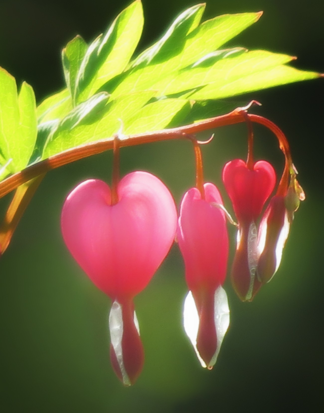 nature bleeding hearts