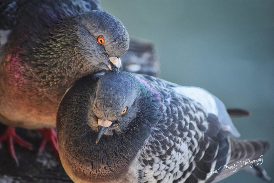 Two Pigeons in Love