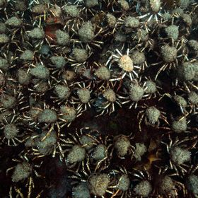 Every year in the waters of Port Phillip Bay, spider crabs gather on mass to shed their shells. While waiting for their new exoskeletons to harde...