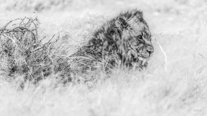 King by briansuter - Big Mammals Photo Contest