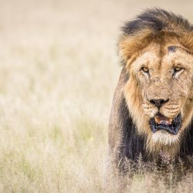 I stopped to observe this beautiful male Lion that was together with the rest of its pride in the Deception Valley, a stunning area of the Centra...