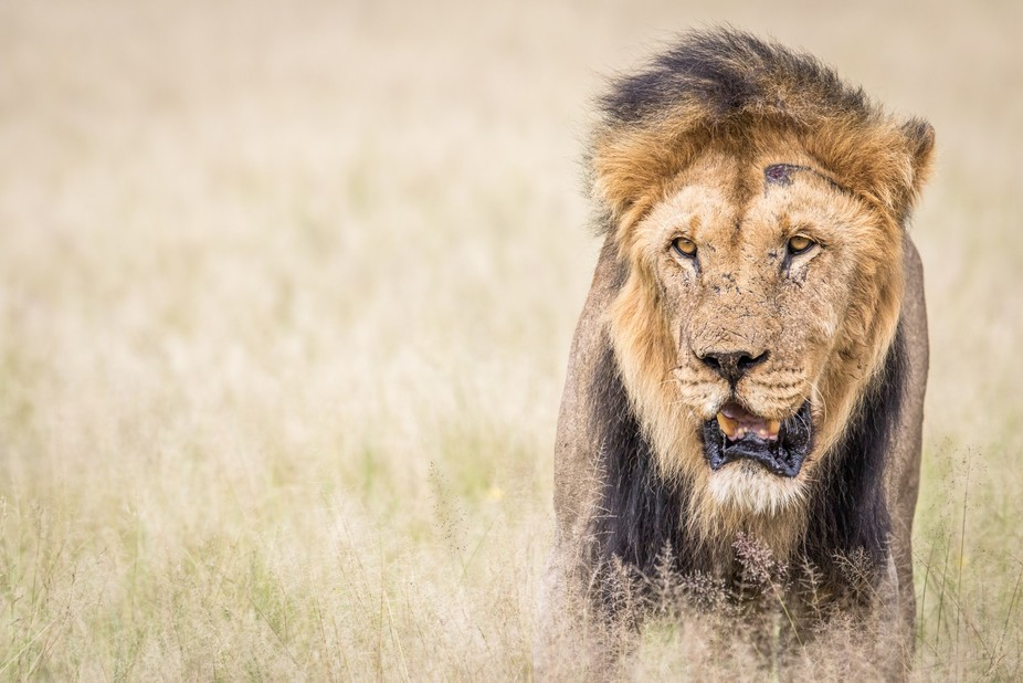 I stopped to observe this beautiful male Lion that was together with the rest of its pride in the...