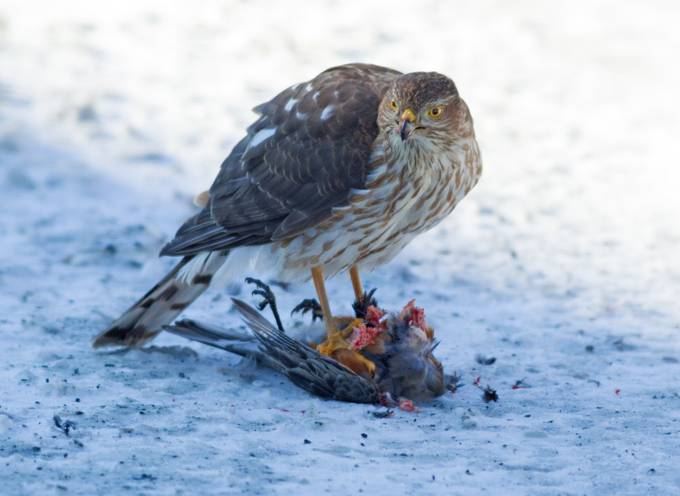 Cooper's Hawk eating a Robin by animalartist - Food Chain Struggles Photo Contest